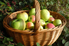 Saviour of the Apple Feast Day