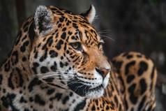 World Jaguar Day