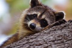 International Raccoon Appreciation Day