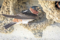 Swallows Depart from San Juan Capistrano Day