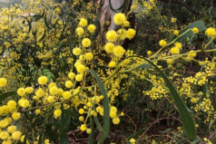 National Wattle Day