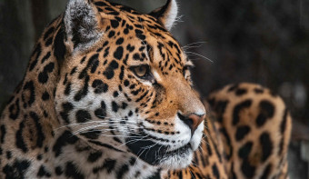 Read more about World Jaguar Day