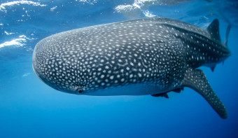 Read more about International Whale Shark Day