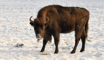 Read more about National Bison Day