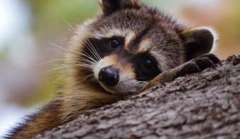 Read more about International Raccoon Appreciation Day