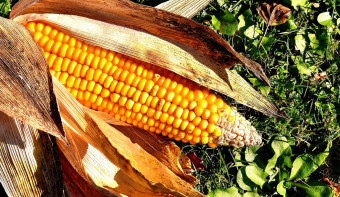 Read more about National Corn on the Cob Day