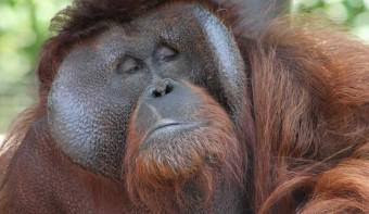 Read more about International Orangutan Day