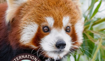 Read more about International Red Panda Day