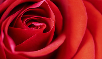 Read more about National Red Rose Day