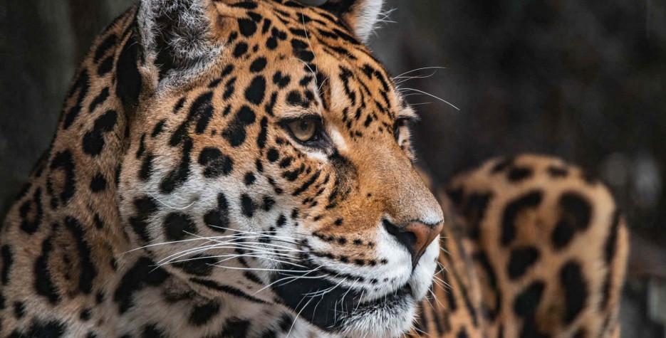 World Jaguar Day around the world in 2021