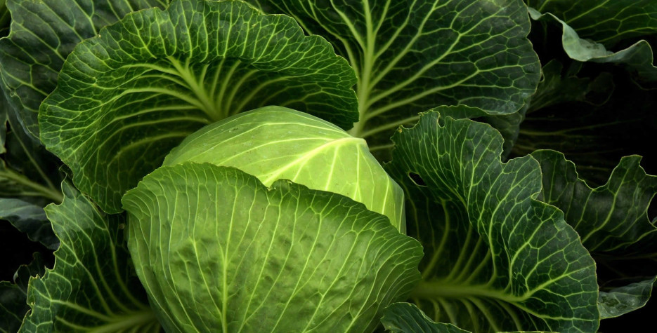 National Cabbage Day in USA in 2022