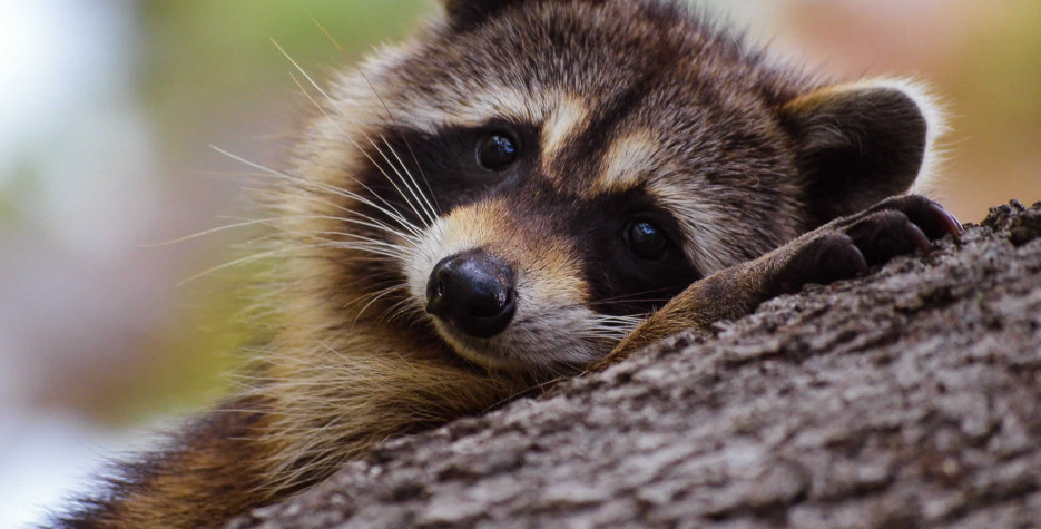International Raccoon Appreciation Day around the world in 2021
