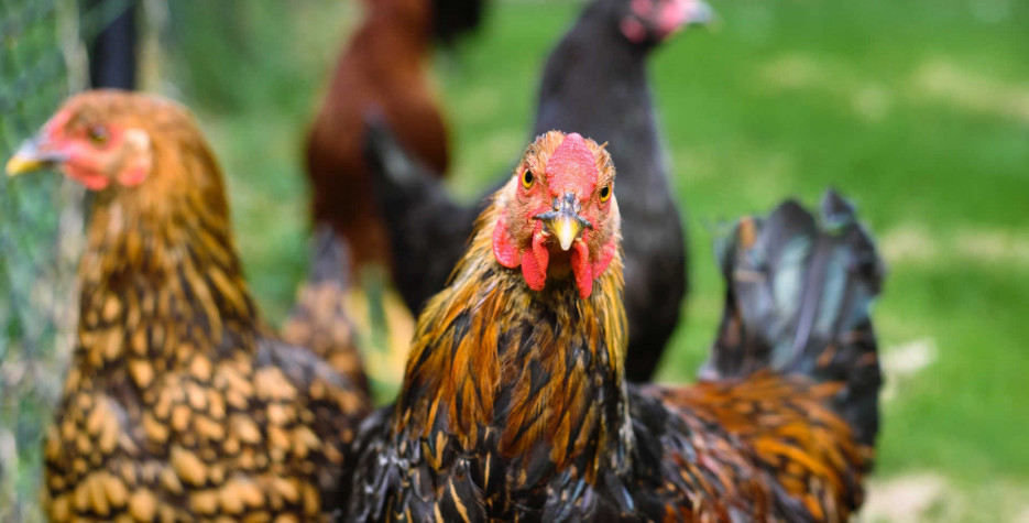 National Dance Like a Chicken Day in USA in 2022