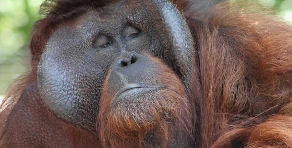 International Orangutan Day around the world in 2022