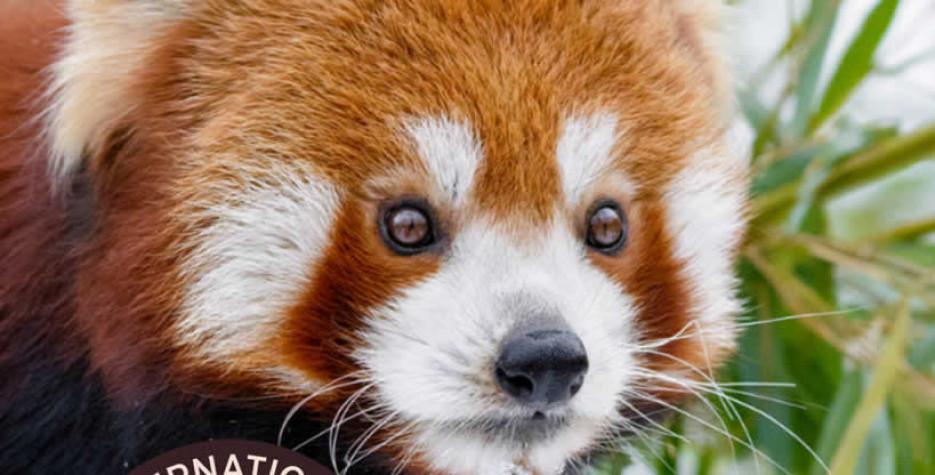 International Red Panda Day around the world in 2021