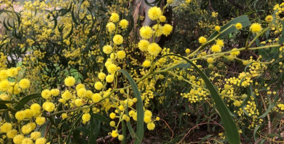 Since 1992 National Wattle Day has been 1 September in all of Australia's States and Territories.